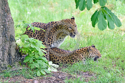 Leopard 00009 A pair of copulating leopards wildlife picture by Peter J  Mancus