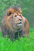 African Lion 00041 A standing adult male African lion wildlife picture by Peter J  Mancus