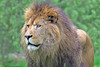 """African Lion 00032 An impressive portrait of a standing adult male African lion, """"the King of Beasts"""", wildlife picture by Peter J  Mancus"""