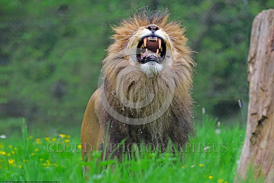 "African Lion 00001 An adult male African lion, ""the King of Beast"", shows his fangs and roars a mighty sound that commands attention, wildlife picture by Peter J  Mancus"