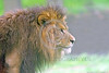 African Lion 00044 Side profile of the face of a standing adult male African lion wildlife picture by Peter J  Mancus