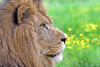 """African Lion 00028 A superb picture of a beautiful adult male African lion that underscores why he is """"the King of Beasts"""", wildlife picture by Peter J  Mancus"""