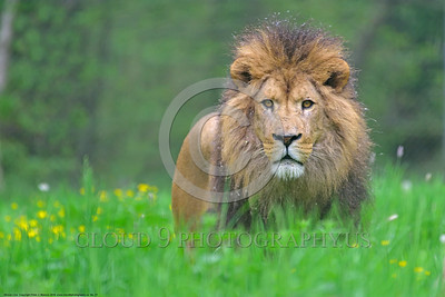 African Lion 00027 A standing adult male African lion wildlife picture by Peter J  Mancus
