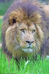 African Lion 00019 A tight crop portrait of a standing adult male African lion wildlife picture by Peter J  Mancus
