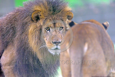 "African Lion 00002 An adult male African lion, ""the King of Beasts"", looks at his woman, an adult female African lion, wildlife picture by Peter J  Mancus_01"