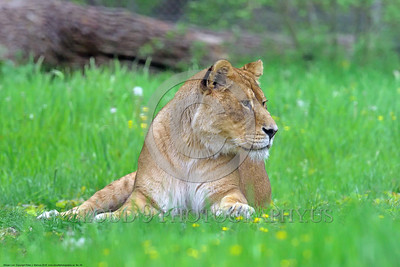 African Lion 00005 A reclined adult female African lion wildlife picture by Peter J  Mancus