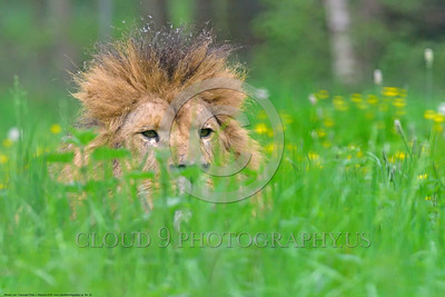 "African Lion 00022 An adult male African lion ""the King of Beasts"", reclined in lush long green grass with yellow flowers, wildlife picture by Peter J  Mancus"