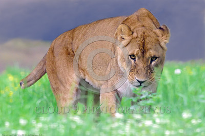 African Lion 00003 This adult female African lion probably lost a big part of her tail in a fight with another animal, wildlife picture by Peter J  Mancus