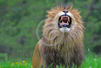 "African Lion 00020 An adult male African lion, ""the King of Beast"", shows his fangs and roars a mighty sound that commands attention, wildlife picture by Peter J  Mancus"