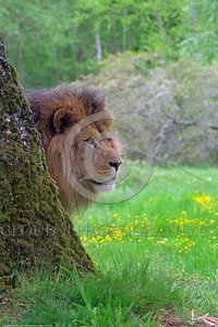 "African Lion 00009 Portrait of an adult male African lion, ""the King of Beasts"", standing behind a tree, wildlife picture by Peter J  Mancus"