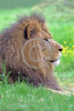 """African Lion 00037 A superb picture of a beautiful adult male African lion that underscores why he is """"the King of Beasts"""", wildlife picture by Peter J  Mancus"""