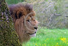 """African Lion 00024 Portrait of an adult male African lion, """"the King of Beasts"""", standing behind a tree, wildlife picture by Peter J  Mancus"""