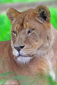 African Lion 00023 A resting adult female African lion wildlife picture by Peter J  Mancus