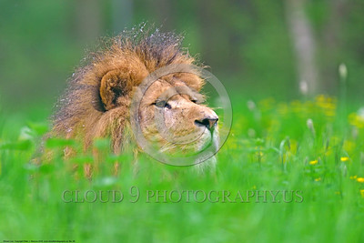 "African Lion 00009 An adult male African lion ""the King of Beasts"", reclined in lush long green grass with yellow flowers, wildlife picture by Peter J  Mancus"