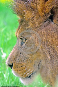 African Lion 00025 A side view portrait of a standing adult male African lion wildlife picture by Peter J  Mancus