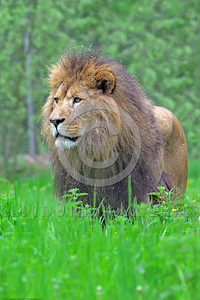 "African Lion 00015 An impressive portrait of a standing adult male African lion, ""the King of Beasts"", wildlife picture by Peter J  Mancus"