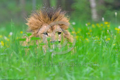 "African Lion 00007 An adult male African lion ""the King of Beasts"", reclined in lush long green grass with yellow flowers, wildlife picture by Peter J  Mancus"
