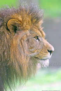 African Lion 00021 Side profile of the face of a standing adult male African lion wildlife picture by Peter J  Mancus
