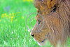 African Lion 00043 A side view portrait of a standing adult male African lion wildlife picture by Peter J  Mancus