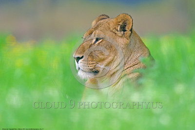 African Lion 00017 An artistic view of a reclined adult female African lion wildlife picture by Peter J  Mancus