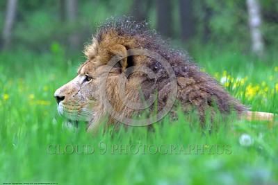 African Lion 00012 A reclined adult male African lion among lush long green grass with yellow flowers wildlife picture by Peter J  Mancus