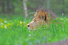 """African Lion 00030 An adult male African lion """"the King of Beasts"""", reclined in lush long green grass with yellow flowers, wildlife picture by Peter J  Mancus"""
