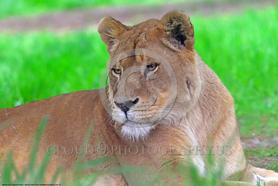 African Lion 00010 A resting adult female African lion wildlife picture by Peter J  Mancus