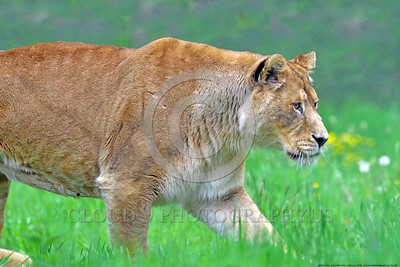 African Lion 00006 A walking adult female African lion wildlife picture by Peter J  Mancus
