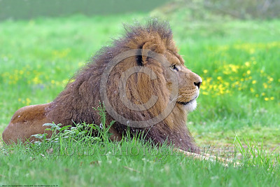 "African Lion 00026 A superb picture of a beautiful adult male African lion that underscores why he is ""the King of Beasts"", wildlife picture by Peter J  Mancus"
