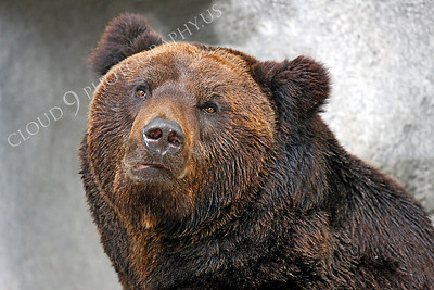 Manchurian Brown Bear 00003 by Peter J Mancus