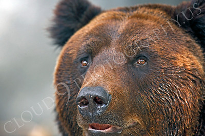 Manchurian Brown Bear 00002 by Peter J Mancus