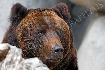 Manchurian Brown Bear 00006 by Peter J Mancus