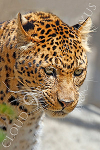 Northern Chinese Leopard 00007 by Peter J Mancus