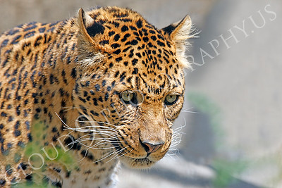 Northern Chinese Leopard 00002 by Peter J Mancus