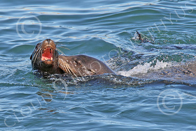 Sea Lion 00011 Two sea lions at play in the Pacific Ocean, by Peter J Mancus