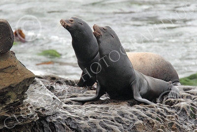 Sea Lion 00002 Two sea lions on a rocky ledge, by Peter J Mancus