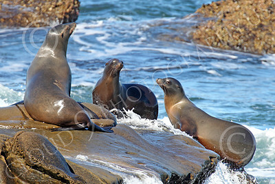Sea Lion 00034 Three large sea lions on a rocky ledge, by Peter J Mancus