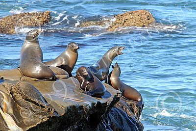 Sea Lion 00006 Several sea lions on a rocky ledge, by Peter J Mancus