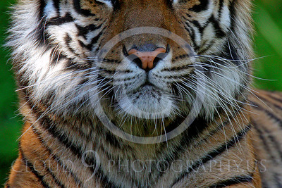 AN-Siberian Tiger 00012 Whiskers by Peter J Mancus