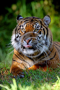 AN-SiberianTiger 00001 by Peter J Mancus