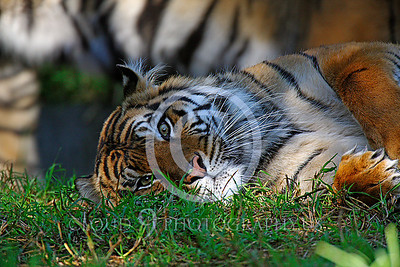 AN-Siberian Tiger 00039 by Peter J Mancus