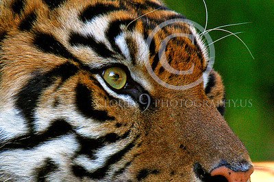 AN-Siberian Tiger 00004 Eye of the tiger by Peter J Manus