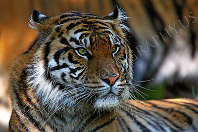 AN-Siberian Tiger 00008 by Peter J Mancus