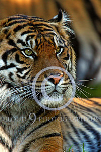 AN-Siberian Tiger 00033 by Peter J Mancus