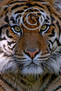 AN-Siberian Tiger 00015 by Peter J Mancus