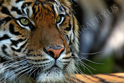 AN-Siberian Tiger 00009 by Peter J Mancus