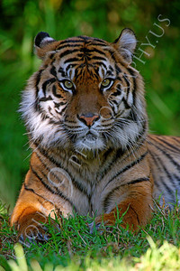 AN-Siberian Tiger 00014 by Peter J Mancus