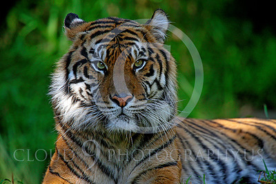 AN-Siberian Tiger 00010 by Peter J Mancus