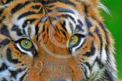 AN-Siberian Tiger 00003 Eyes of the tiger by Peter J Mancus