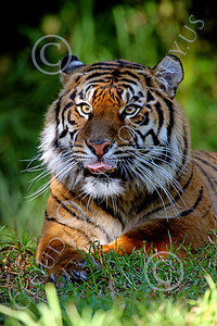 AN-Siberian Tiger 00001 by Peter J Mancus